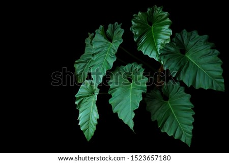Dark green leaves of Philodendron species (Philodendron speciosum) the tropical foliage climbing vine plant bush on black background. #1523657180