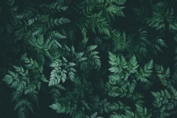 Dark green leaves on a black background in the forest