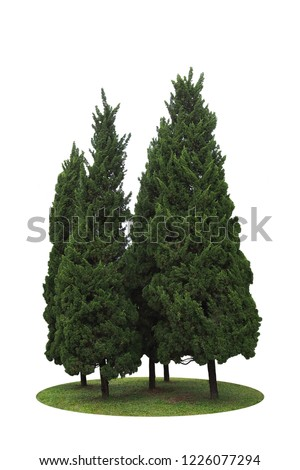 Dark green leaves pine trees ornamental plant, fir tree forest garden on green grass lawn isolated on white background.