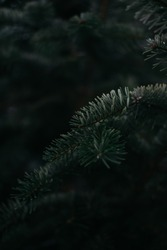 Dark green prickly branches of spruce close-up. Christmas minimalistic background on the desktop with a Christmas tree.