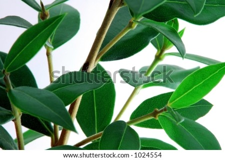 Dark Green Shrub on White Background