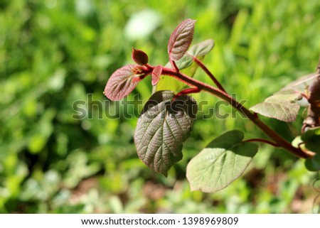 Dark green to red leathery leaves and hairy stem of Kiwi or Kiwifruit or Chinese gooseberry woody vine plant planted in local garden on warm sunny spring day