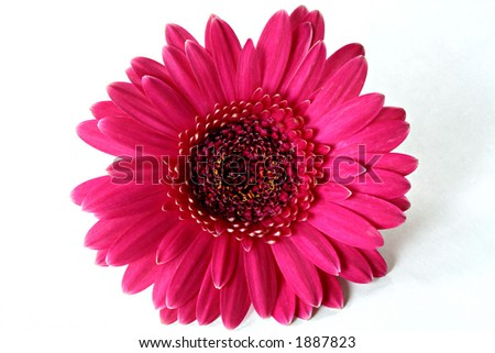 Dark Hot Pink Gerbera on White Background
