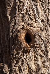 Dark knothole and heavily textured tree bark in natural tan, brown and dark shadowed tones. Cottonwood bark with a deeply shadowed knothole in the middle of the image.