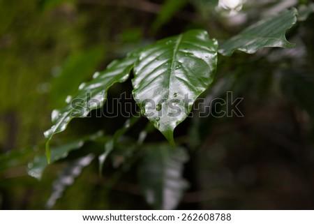Dark leaves with dew drops on dark background