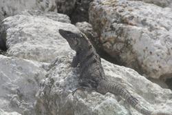 dark lizard over cracked stones