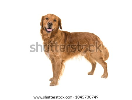 Dark male golden retriever dog standing looking at the camera isolated on a white background #1045730749
