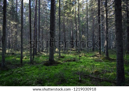 Dark mossy forest trees background. Mossy forest trees view. Autumn forest trees moss. Wilderness forest trees scene