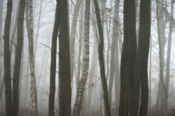 Dark mysterious evergreen forest in a thick fog. Pine, birch trees, tree trunks close-up. Picturesque panoramic view.