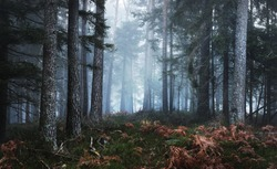 Dark mysterious pine forest in mist with a carpet of moss and fern. French Alsace, Vosges mountains