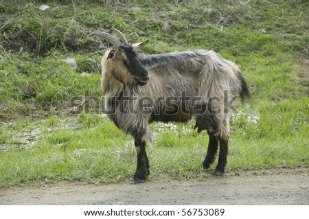dark nanny goat with horn rests upon green herb