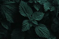 Dark nettle bush shape isolated, view from top. Wild nettle leaves texture details. Background image that is dark green. Dark and moody feel.Nature background with beautiful visual effect. Forest.