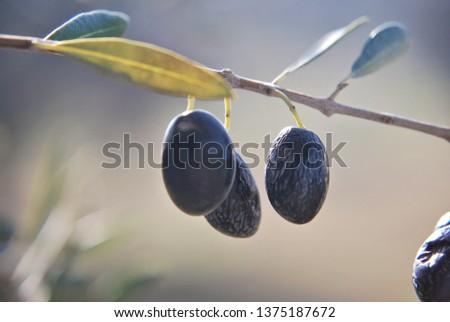 Dark Olives in the tree #1375187672