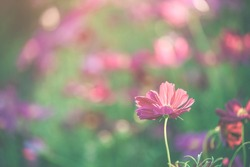 Dark Pink beautiful cosmos flowers blooming in the garden with blurred bokeh background.