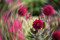 Dark pink dahlia flower, with radial blur in the background.