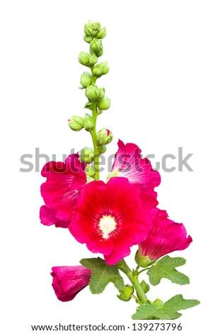 Dark pink Hollyhocks flower isolated on white background