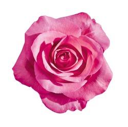 dark pink rose blossom, isolated