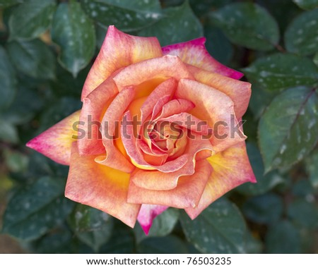 dark pink rose flower closeup, natural background