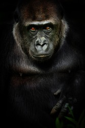 Dark poster female gorilla. Portrait monkey gorrila in black colour.