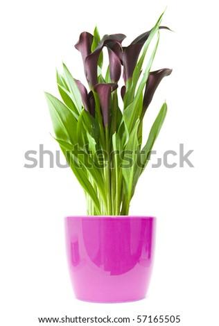 """dark purple (""""black"""") calla lily plant in bright purple pot isolated on white background"""