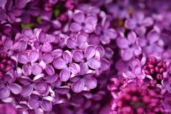 Dark purple common lilac blossom beautiful flowers