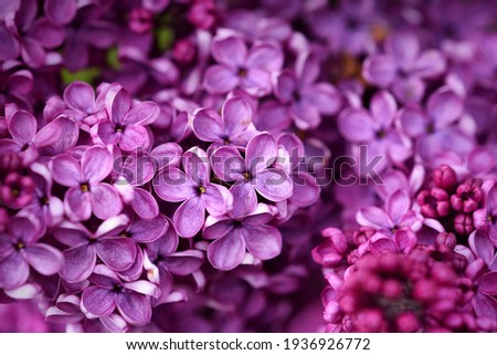 Dark purple common lilac blossom beautiful flowers Stock photo ©