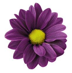 Dark purple gerbera flower.  White isolated background with clipping path.   Closeup.  no shadows.  For design.  Nature.