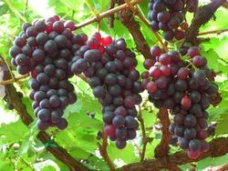 Dark purple grapes ripen on the tree