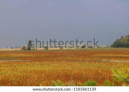 Dark rain clouds over ripe soybean field with sun shining on fall colors on treeline