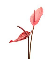 dark red and pink anthurium flowers