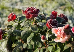 Dark Red And Soft Pink Roses In The Black Ceramic Pot, Sunlight And Frost In The Garden.