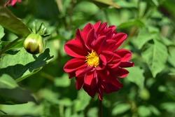 Dark red Dahlia flower Bud in a green garden in summer