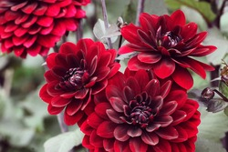 Dark red 'Karma Choc' decorative dahlia flowers in bloom during late summer