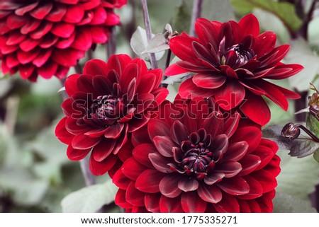 Dark red 'Karma Choc' decorative dahlia flowers in bloom during late summer Stock photo ©
