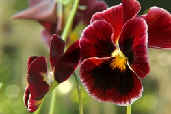 Dark red pansy flowers background.