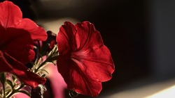 Dark red petunia in shady light with blurry background