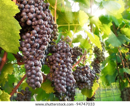 Dark red ripe grapes with the sunlight shining through the vine leaves