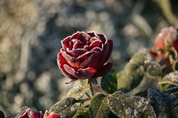 Dark Red Rose And Frost In The Garden.