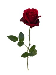 Dark red rose isolated on white background