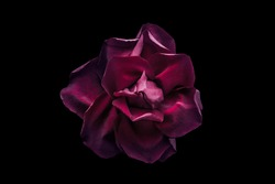 Dark red rose on the black background