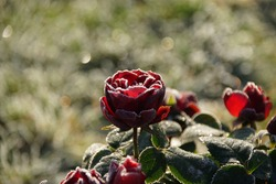 Dark Red Rose, Sunlight And Frost In The Garden.