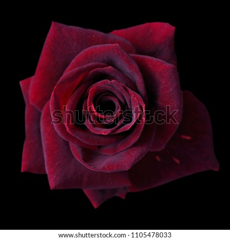 Dark red roses background, Red rose isolated on black background, Greeting card with a luxury roses, Image dark tone