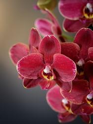Dark red velvet blooming orchid phalaenopsis on blurred grey background