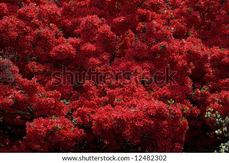 Dark red wild azalea flowers, Japan