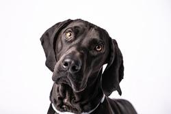 Dark short haired pointer mix dog