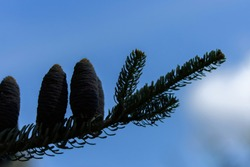 Dark silhouette of Alpine abies lasiocarpa Evergreen coniferous tree with needles and beautiful blue cones against a bright blue sky. Twilight pine silhouette with cones, beautiful natural background