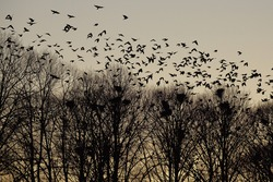 Dark silhouettes of crows flying over trees.