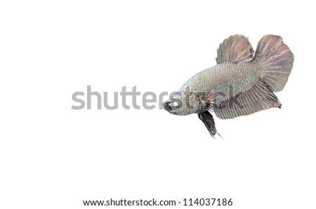dark silver beta fish