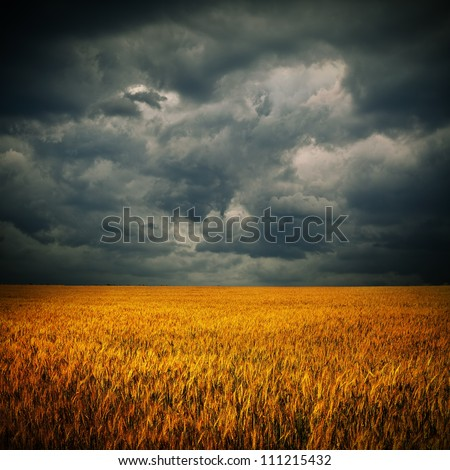 Dark stormy clouds over wheat field. Square panorama from two photos