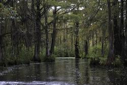 Dark swamp wetlands with grey greens water